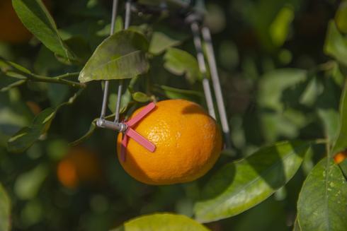 בפרדסי תפוזים בישראל נרשמה עלייה של 28% ביבול אל מול חיסכון של 37% בצריכת המים
