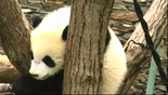 פנדה בסין