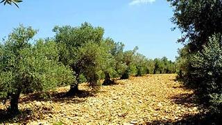 מטע עצי זית