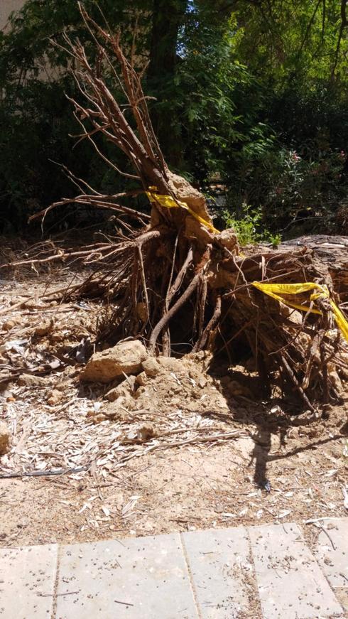 העץ שקרס בבאר שבע