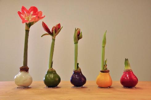 בצלי אמריליס צבעוניים של עדינה ויוסי גרינפלד