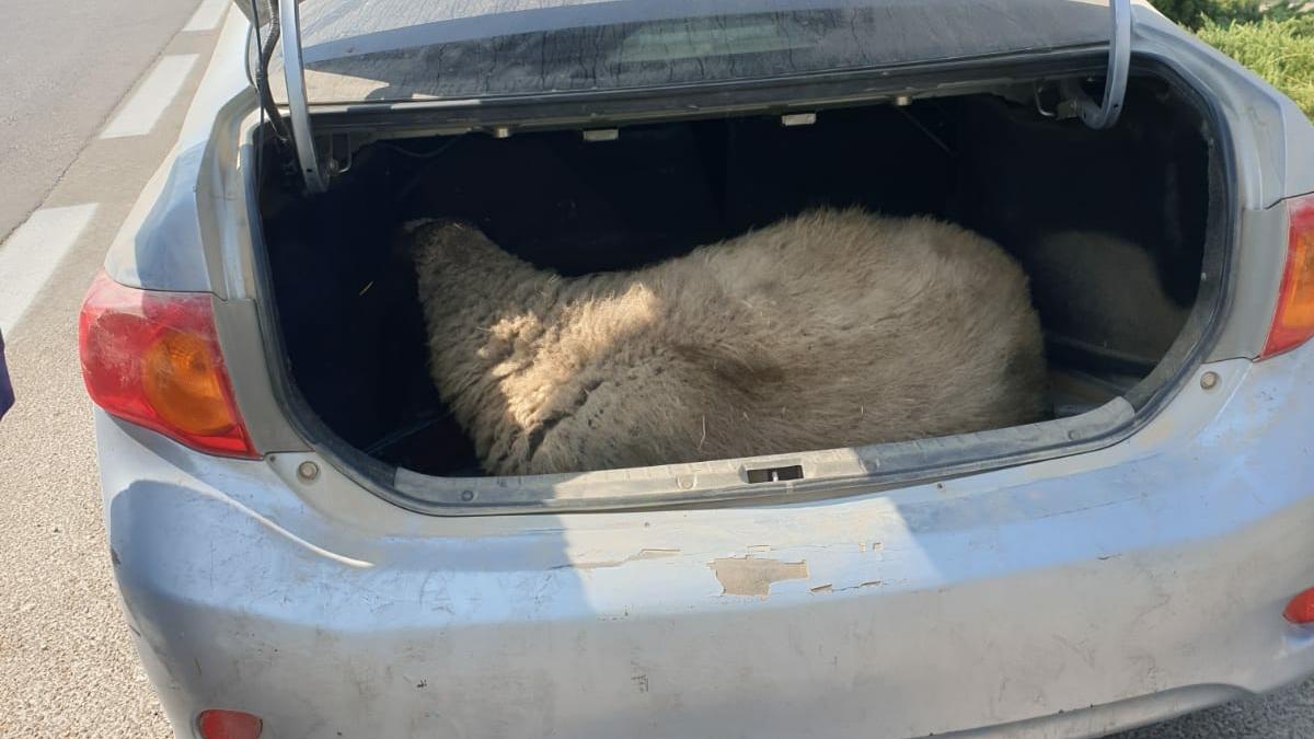 כבשה רועדת בתא המטען