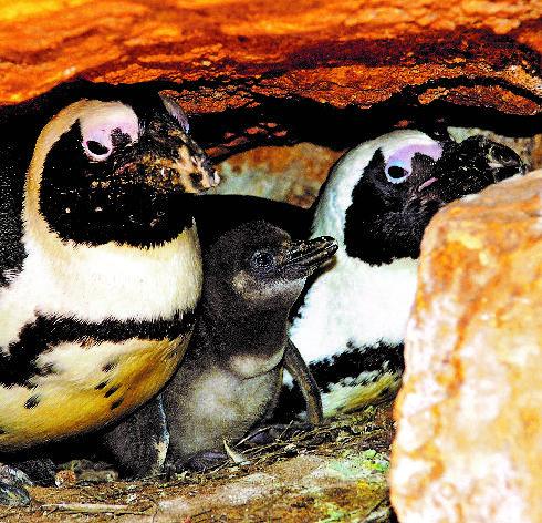 גוזל הפינגווין והוריו