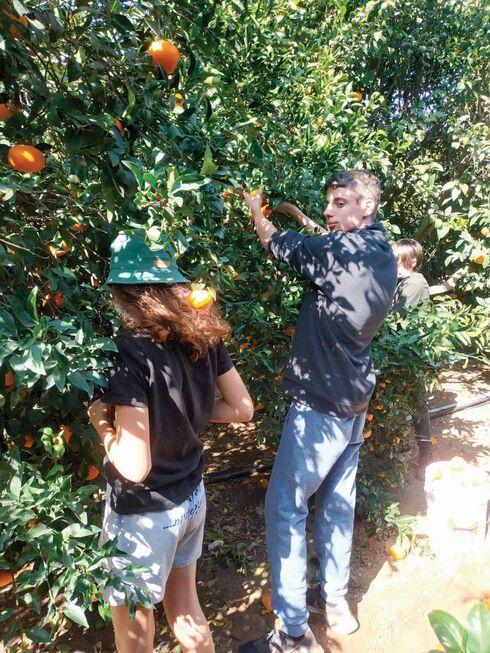 קוטפים תפוזים