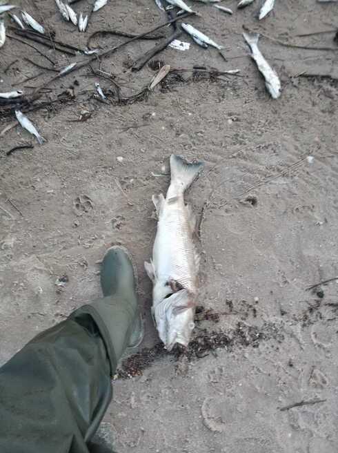 הדגים המתים שאותרו בחוף פלמחים