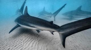 כרישים בשפך נחל חדרה