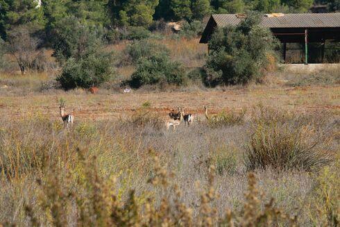 צבי ארץ־ישראלי במסדרון האקולוגי